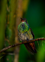 Hummingbird_RT_Z2F6910