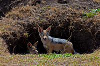 "Black-backed, ""Canis mesomelas"", Jackal, Kenya, ""Masai Mara National Reserve"",den"