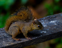Squirrel_RT_Z2F8348
