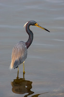 Heron_Tri-colored_D4B9629