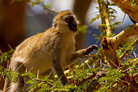 """Black-faced Vervet"", ""Cercopithecus pygerythrus"", Monkey, ""Ngorongoro Crater"", Tanzania"