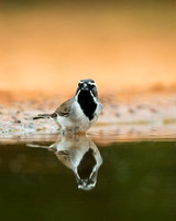 """Black-throated Sparrow"",""Amphispiza bilineata"","