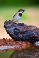 """House Sparrow"",""Passer domesticus"","
