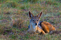"Black-backed, ""Canis mesomelas"", Jackal, Kenya, ""Masai Mara National Reserve"""