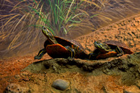 Western Painted Turtle, Chrysemys picta bellii