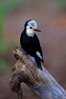 White-headed Woodpecker, Picoides albolarvatus,