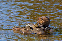 "Muskrat, ""Ondatra zibethicus"", Wyoming, ""Yellowstone National Park"""