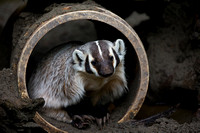 Badger, Taxidea taxus