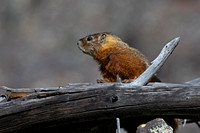 """Marmot Yellow-bellied"", ""Marmota flaviventris"", Wyoming, ""Yellowstone National Park"""