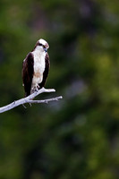 "Osprey, ""Pandion haliaetus"", Wyoming, ""Yellowstone National Park"""