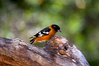 Grosbeak_BHMR8D4821