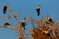 "Botswana, ""Chobe River"", Cormorant, ""Phalacrocorax lucidus"", White-breasted"