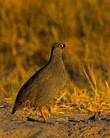 "Botswana, Francolin, ""Khwai Community Concession"", ""Okavango Delta"", ""Pternistis adspersus"", Red-billed, Spurfowl"
