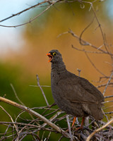 "Botswana, ""Chobe National Park"", Francolin, ""Pternistis adspersus"", Red-billed, ""Savuit Marsh Area"", Spurfowl"