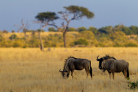"Blue, Botswana, ""Chobe National Park"", ""Connochaetes taurinus"", ""Savuit Marsh Area"", Wildebeest"