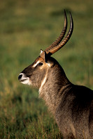 Waterbuck_SCN003