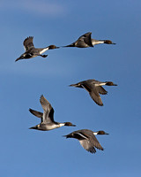 """Anas acuta"", ""Bosque del Apache National Wildlife Refuge"", ""New Mexico"", ""Pintail Northern"""