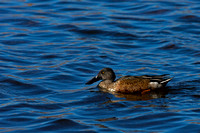 """Anas clypeata"", ""Bosque del Apache National Wildlife Refuge"", ""New Mexico"", ""Shoveler Northern"""