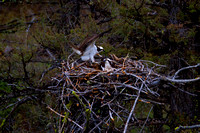 "Nest, Osprey, ""Pandion haliaetus"", Wyoming, ""Yellowstone National Park"""