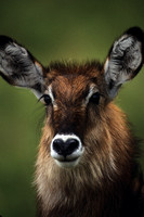 Waterbuck_SCN002