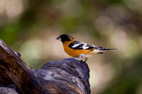 Grosbeak_BHMR8D4831