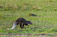 White-tailed Mongoose