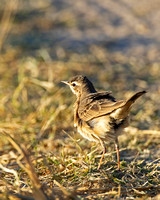 Pipit_Buf_A96I0819