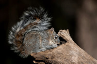 Squirrel_AZ-G_MR8D5029
