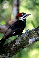 Woodpecker_Pil_SCN001