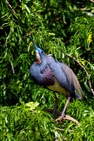 Heron_Tri-colored_Z2F9746