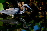Heron_Tri-colored_D4B7499