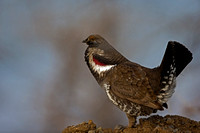 """Dendragapus obscurus"", Dusky, Grouse, Wyoming, ""Yellowstone National Park"""