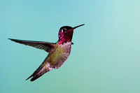 Hummingbird_Anna's_MR8D4998