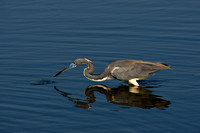 Heron_Tri-colored_D4B7487
