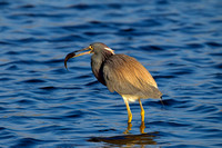 Heron_Tri-colored_Z2F9948