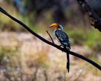 """Eastern Yellow-billed"", Hornbill, Kenya, ""Samburu National Reserve"", ""Tockus flavirostris"""