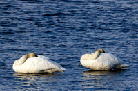 """Cygnus buccinator"", ""Swan Trumpeter"", Wyoming, ""Yellowstone National Park"""