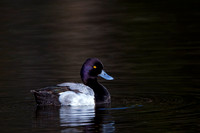 """Aythya affinis"", ""Scaup Lesser"", Wyoming, ""Yellowstone National Park"""