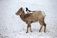 """Bighorn Sheep"", Black-billed, Magpie, ""Ovis canadensis"", ""Pica hudsonia"", ""Shoshone National Forest"", Wyoming"
