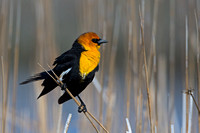 """Bear River Bird Refuge"", ""Blackbird Yellow-headed"", Utah, ""Xanthocephalus xanthocephalus"""