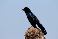 Grackle, Boat-tailed