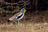 Lapwing, White Crowned
