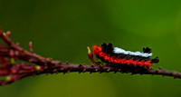 Caterpiller, Red-footed Fuzzy-Wuzzy