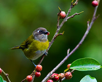 Tanager, Common Bush