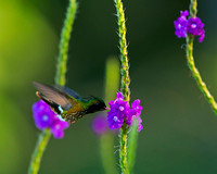 Black-Crested Coquette Hummingbird