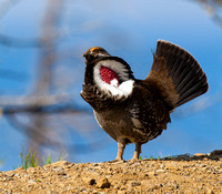 Grouse_DuskyIMG_0542