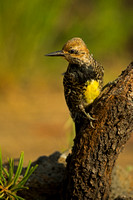 Sapsucker_Will_45T6533