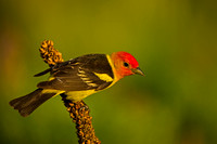 Tanager_W_45T5109