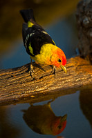 Tanager_W_45T5159