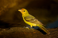 Tanager_W_45T6322